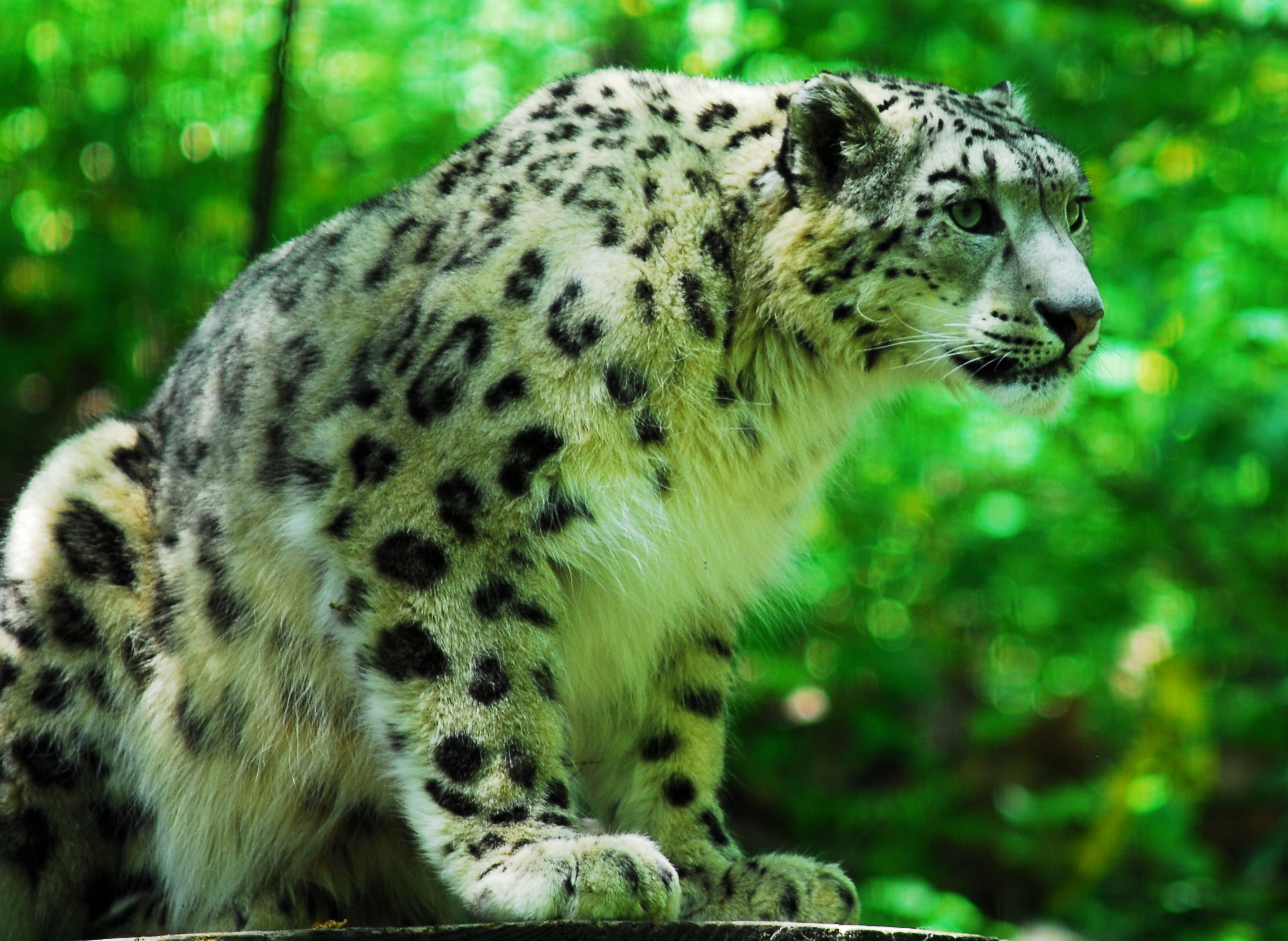 25 mythical collection of snow leopard takedesigns