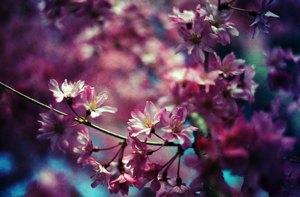 http:  www.taishimizu.com pictures april sakura sakura nikon fe reala 100 35mm f2 ais thumb.jpg