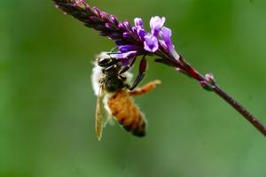 http:  www.taishimizu.com pictures audubon society macro micro nikkor 105mm f4 pn 11 bee thumb.jpg