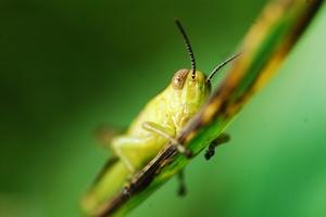 http:  www.taishimizu.com pictures audubon society macro micro nikkor 105mm f4 pn 11 grasshopper clinging thumb.jpg