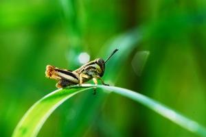 http:  www.taishimizu.com pictures audubon society macro micro nikkor 105mm f4 pn 11 grasshopper grass thumb.jpg