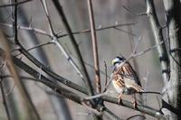 http:  www.taishimizu.com pictures reflex sparrow sm.jpg